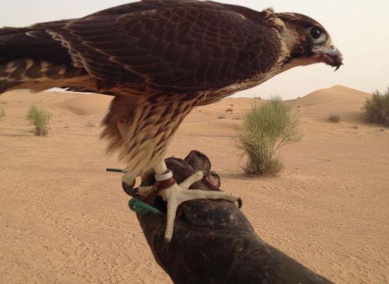 Falco arabo: un sport molto amato dagli arabi