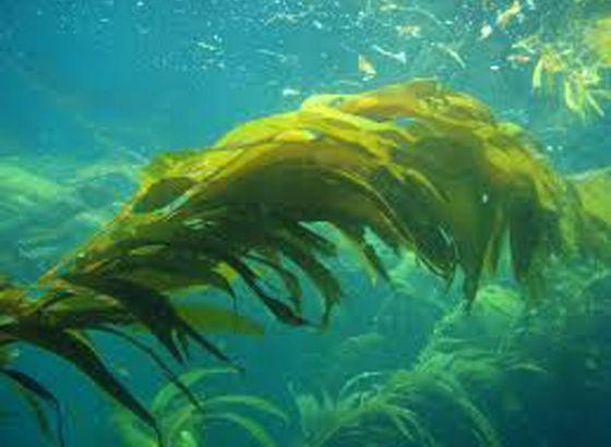 Alge di Voya